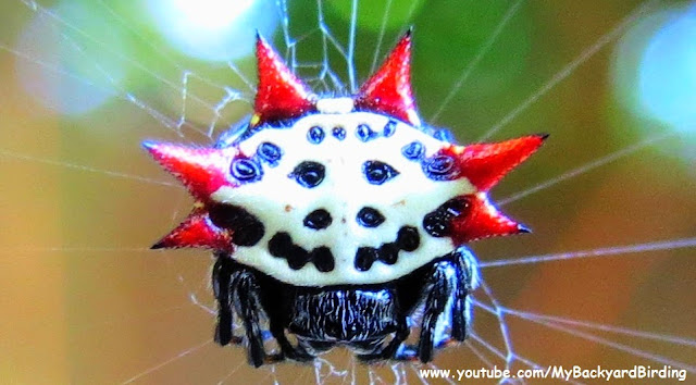 Spiny Orb Weaver Spider Florida