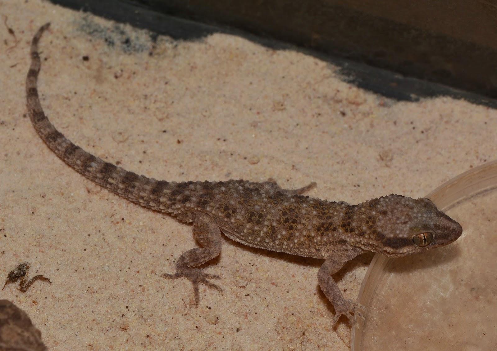 diaz lab reptiles: geckos