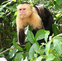 mono capuchino sobre una rama
