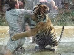 Human or tiger: Who wins