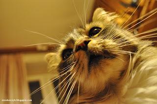 kot mirek - wąsy