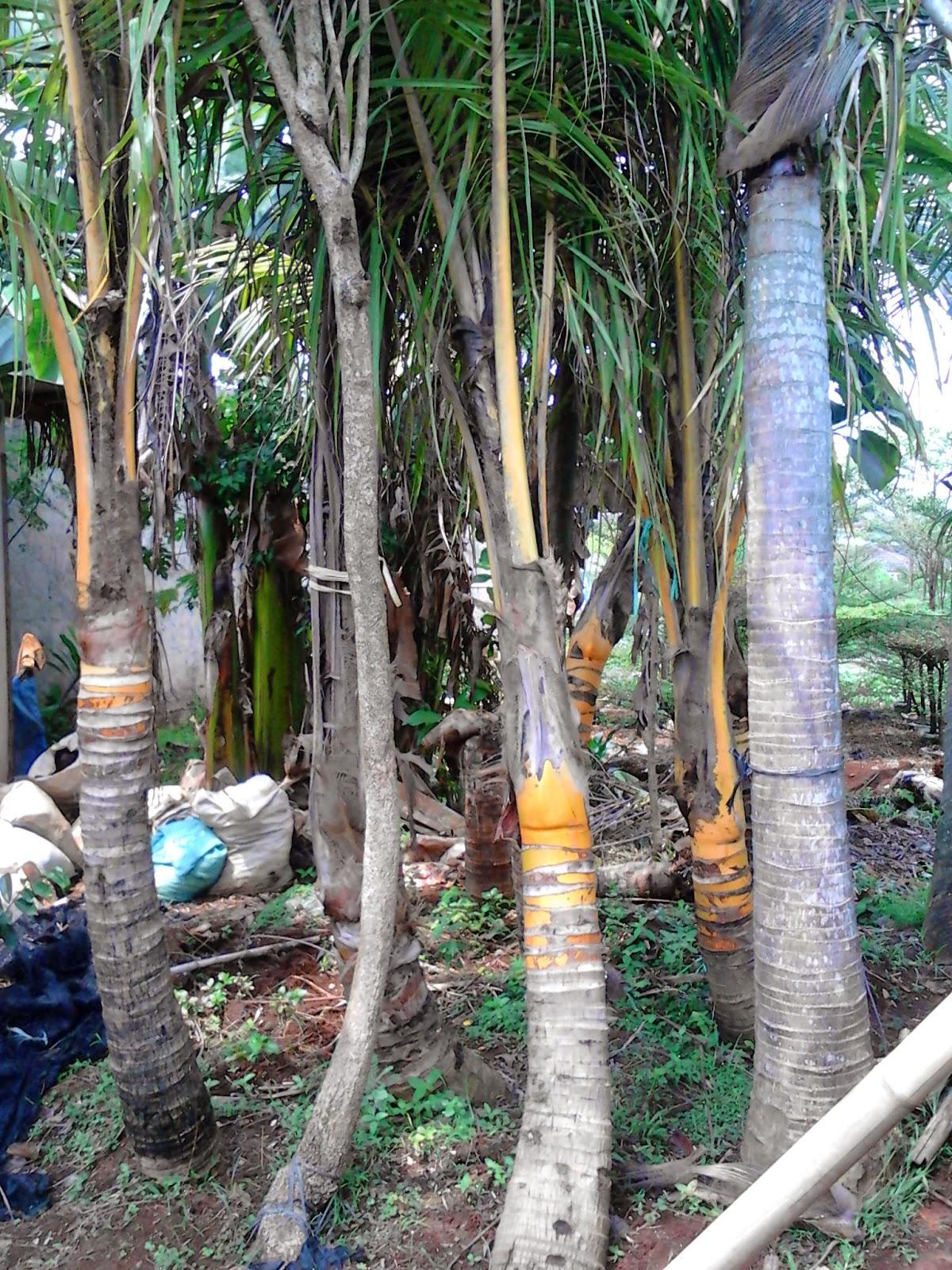 Pohon kelapa gading | kelapa kuning | kelapa hijau | kelapa bonsai | suplier tanaman | jasa pembuatan taman