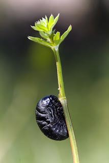 Para ampliar Timarcha sp. (larva) hacer clic