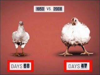 chickens-non-good