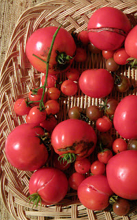 Basket of late season tomatoes