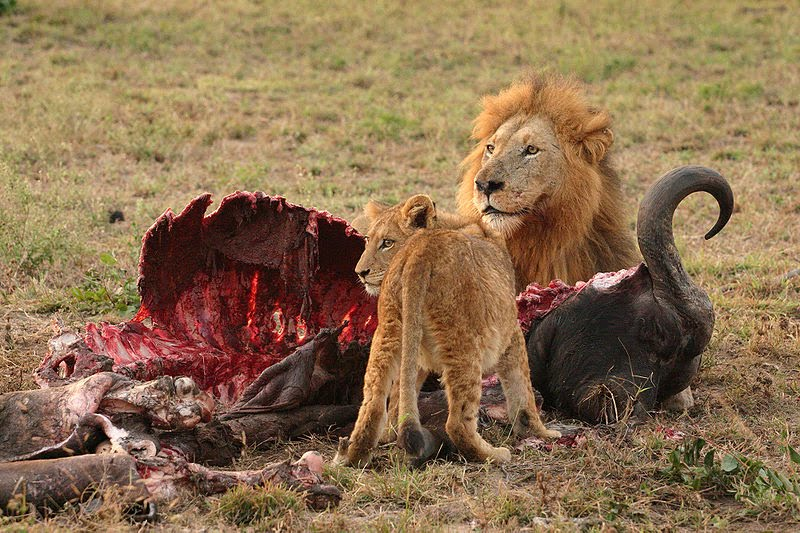What Does Lions Eat