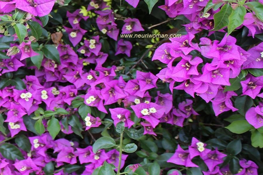 Respuesta la flor de la buganvilla - La buganvilla ...