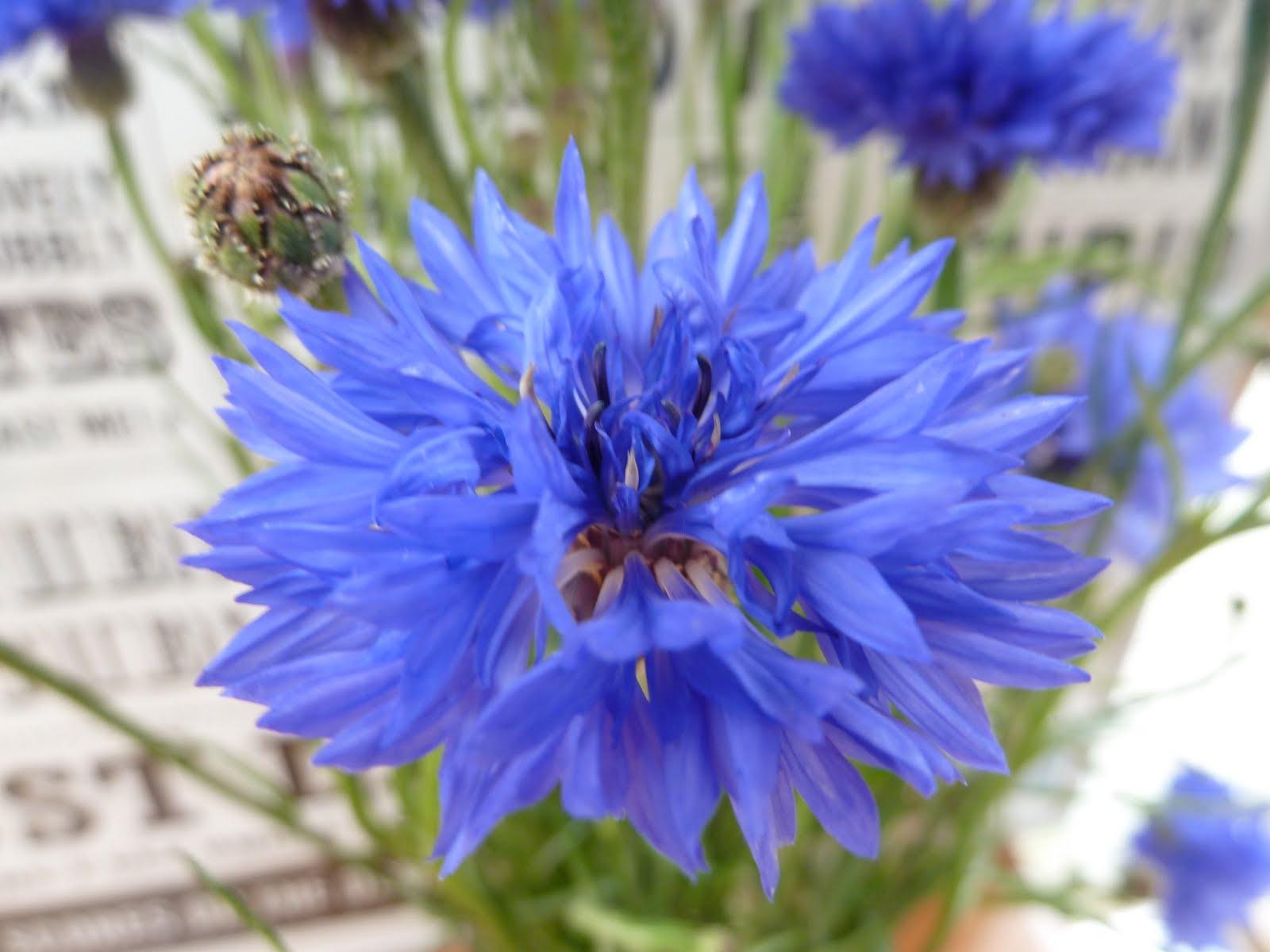 Bishty Cornflower Blue