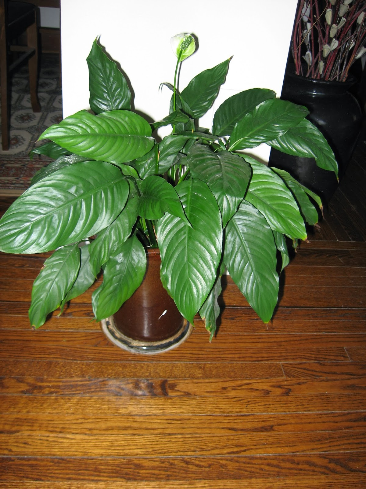 Heidi horticulture peace lily spathiphyllum brown tips hopefully my peace lily will flourish again and provide great flowering all year long izmirmasajfo