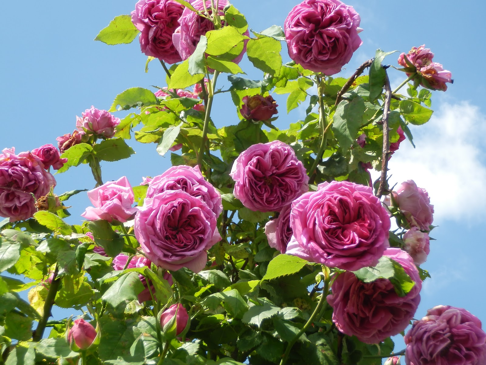The Most Beautiful Rose Garden In The World Free Here
