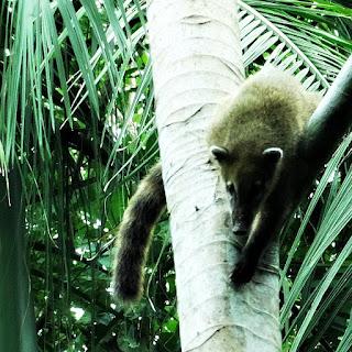 Quati descendo de árvore em meio à mata. Macuco Safari, no Parque Nacional de Iguaçu.