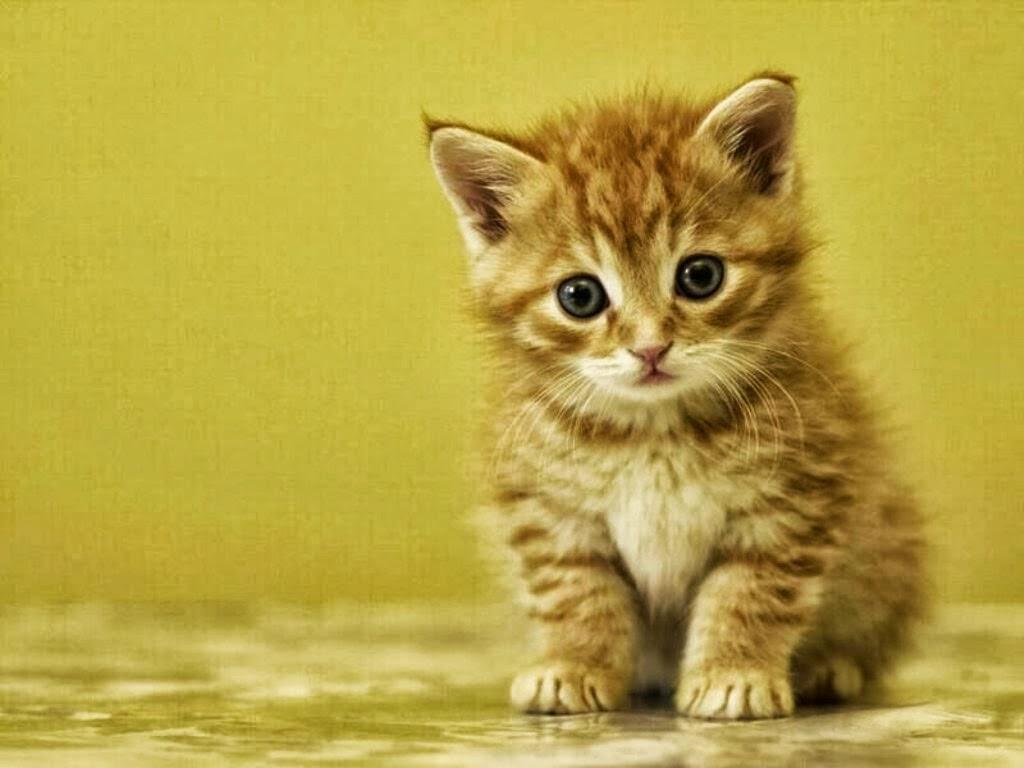 Koleksi Gambar Kucing Lucu Terbaru Dan Terkini Dunia Remaja