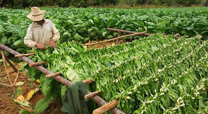 Pinar del Rio, Cuba Viñales Tobacco Farm
