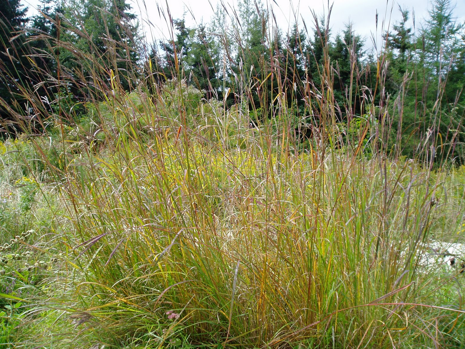 Lovegrass farm andropogon gerardii big bluestem for Large perennial grasses