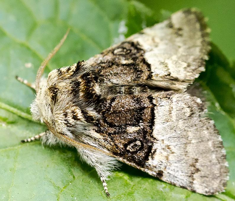 Nut-tree Tussock, Colacasia coryli forma medionigra.  Noctuidae.  Moth trap at Sevenoaks Wildlife Reserve, 27 April 2014.  No flash.