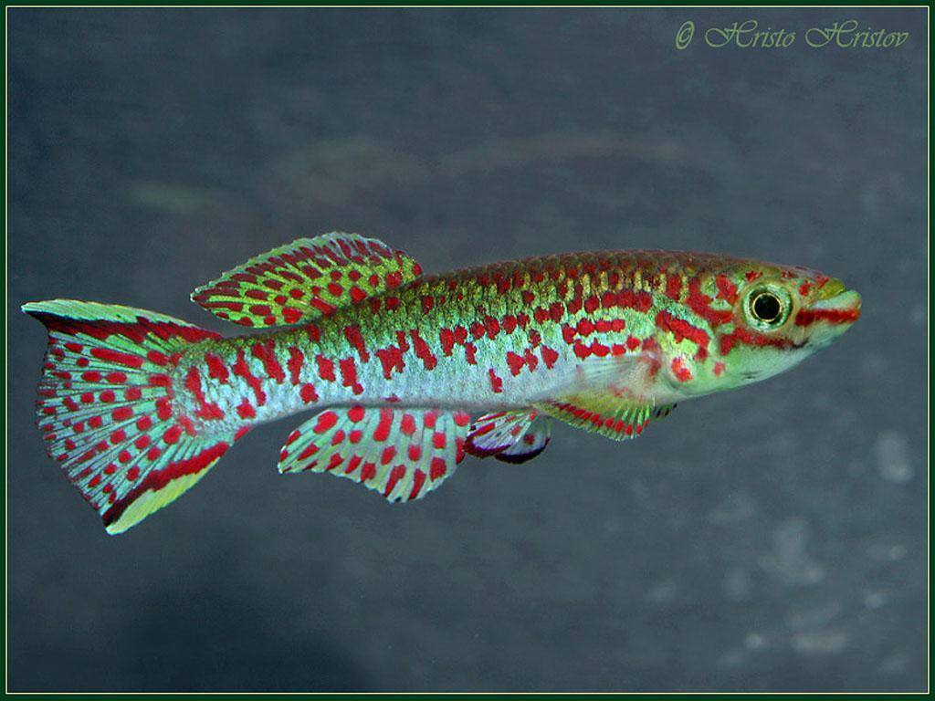 Cool Aquarium Pets : Cool Freshwater Pet Fish Pet aquarium fish freshwater