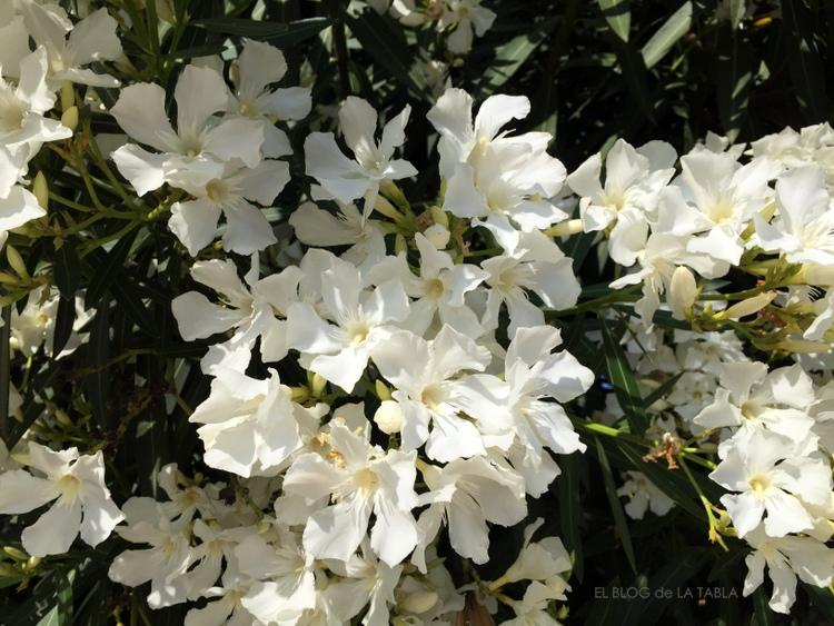 Adelfa blanca la flor del mal y del mediterr neo for Laurel de jardin
