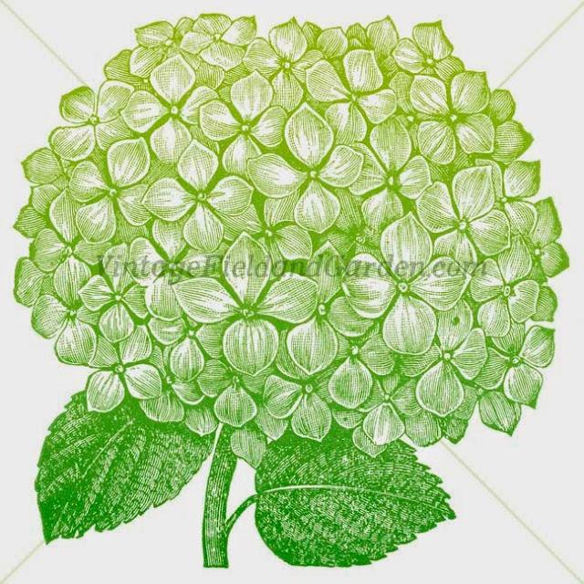 http://3.bp.blogspot.com/-Ilp2VVC7eJM/U-BR74p_qpI/AAAAAAAAJSE/5OG9-7fDoLE/s640/Green+Hydrangea+(Preview).jpg