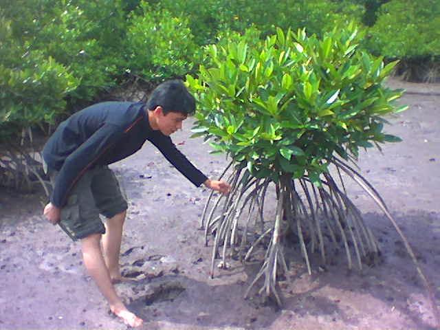 Mangrove 2004