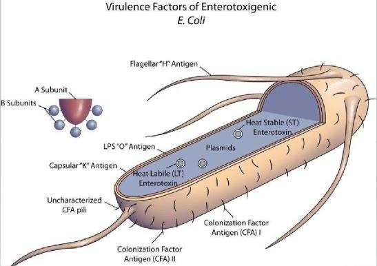 E coli Causes  Mayo Clinic