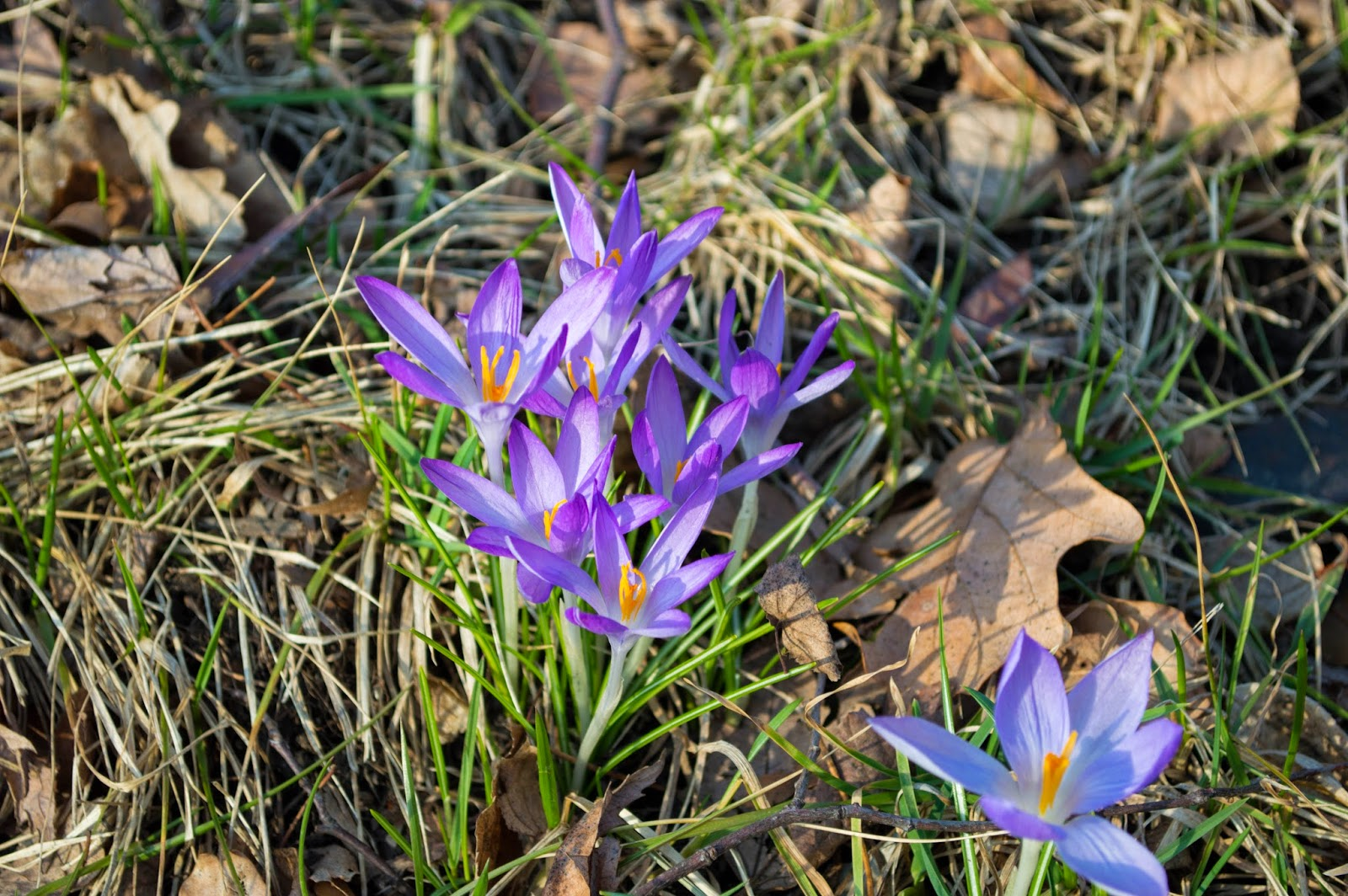 purple crocus spring columbus ohio