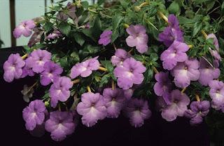 Jardineria, Catalogo de Plantas: Achimenes Longiflora