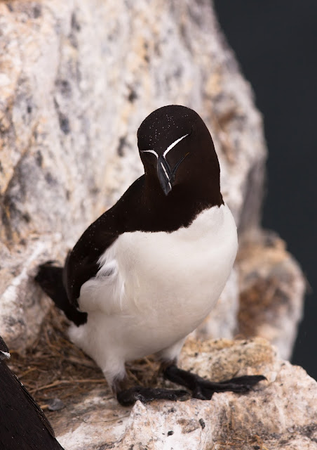 Razorbill - Farne Islands, Northumberland