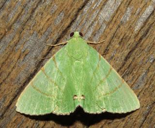 Eulepidotis viridissimus