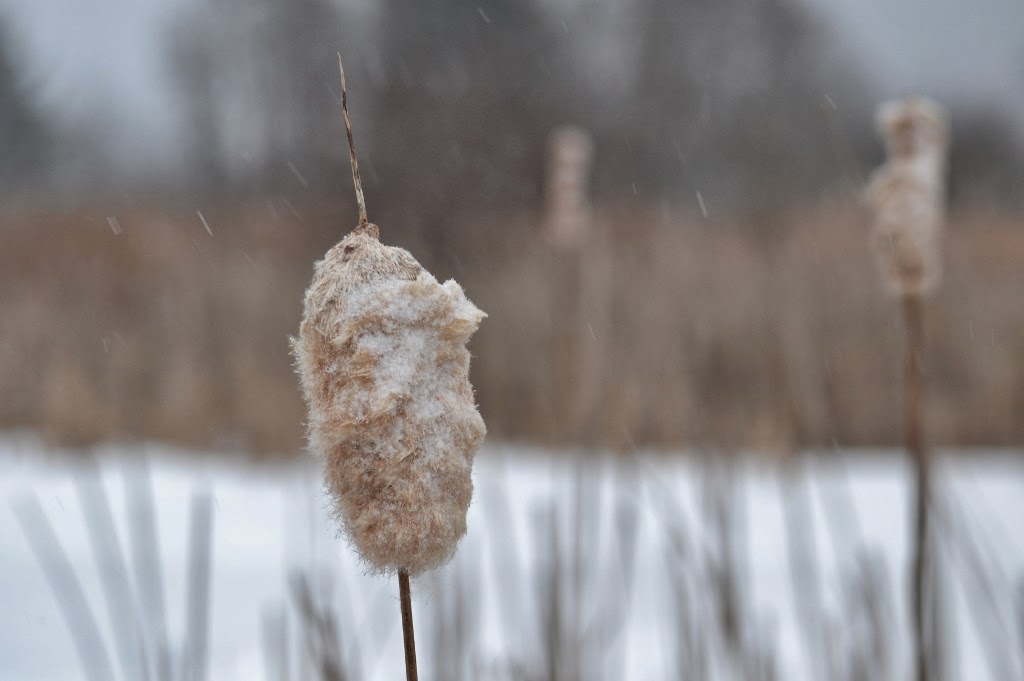 snow-covered cattail