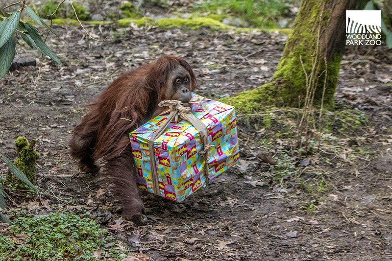 Woodland Park Zoo Blog Great ape birthday was a smashing celebration