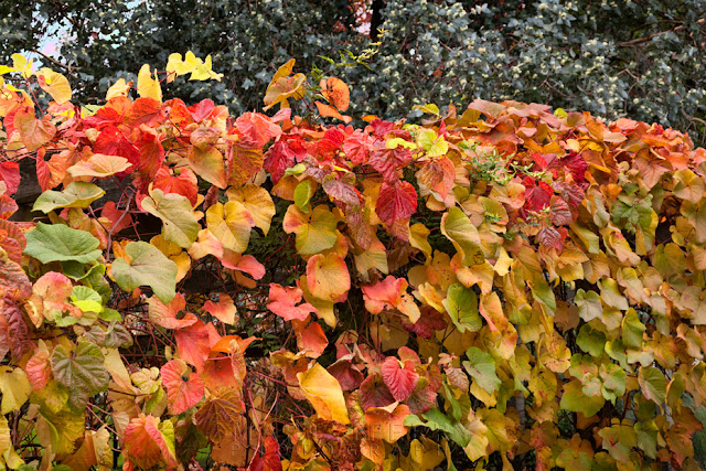 Vines in autumn colour at Margam Country Park in South Wales by Martyn Ferry Photography