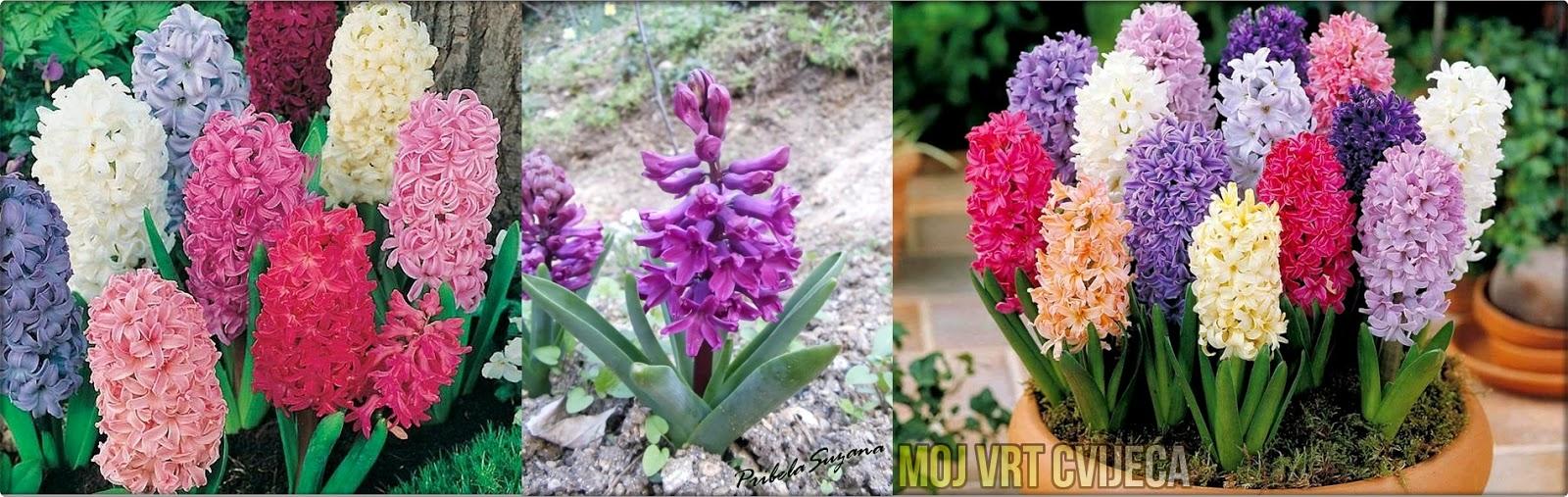 Savjeti za sadnju zumbula - Moj Vrt Cvijeća