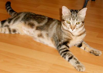 Bengal Cat Adoption Miami