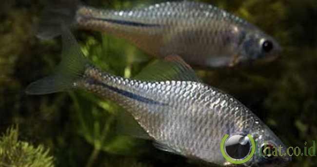 European Bitterling (Ikan Bitterling Eropa)