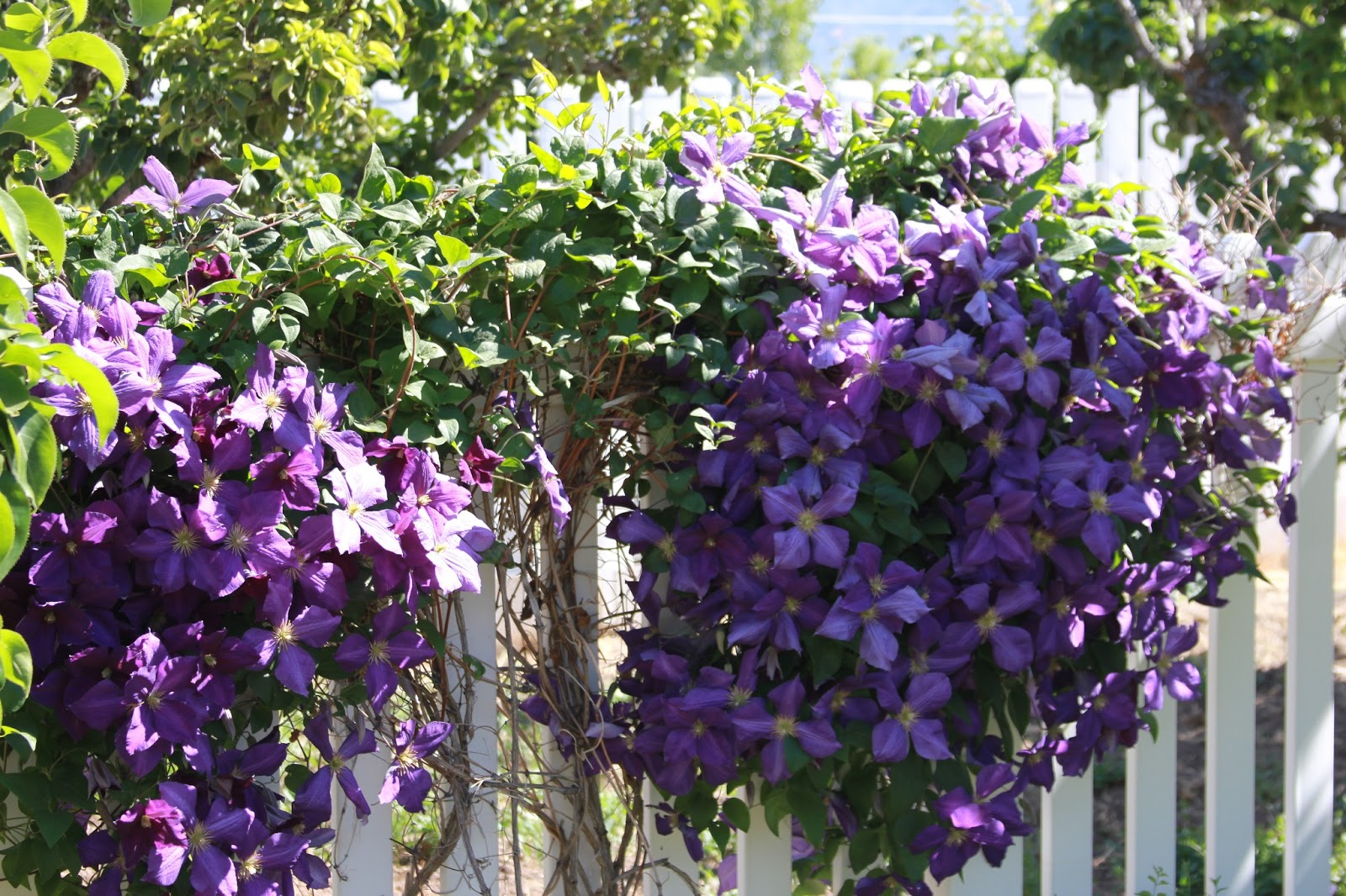 Time Of Our Lives Blooming Clematis Vines