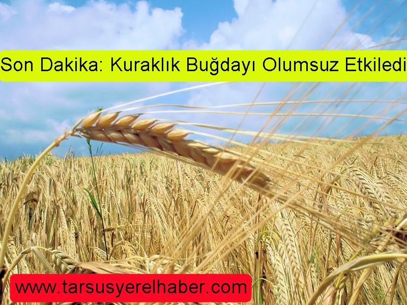 tarsus'ta kuraklık buğdayı olumsuz etkiledi