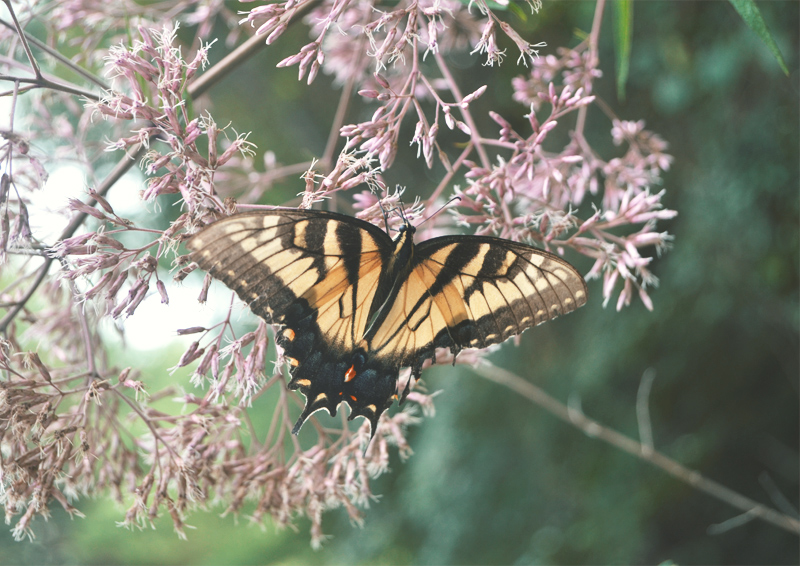 The Flying Clubhouse: August Gold | Eastern tiger swallowtail