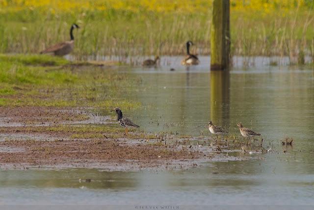 Kemphaan & Canadese Ganzen - Ruffs and Canadian Goose