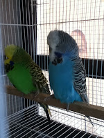 Induk English Budgie