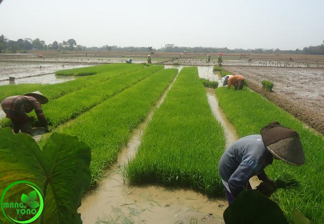 Mengenal BABUT Teknik Petani Padi Pagaden Barat, Subang