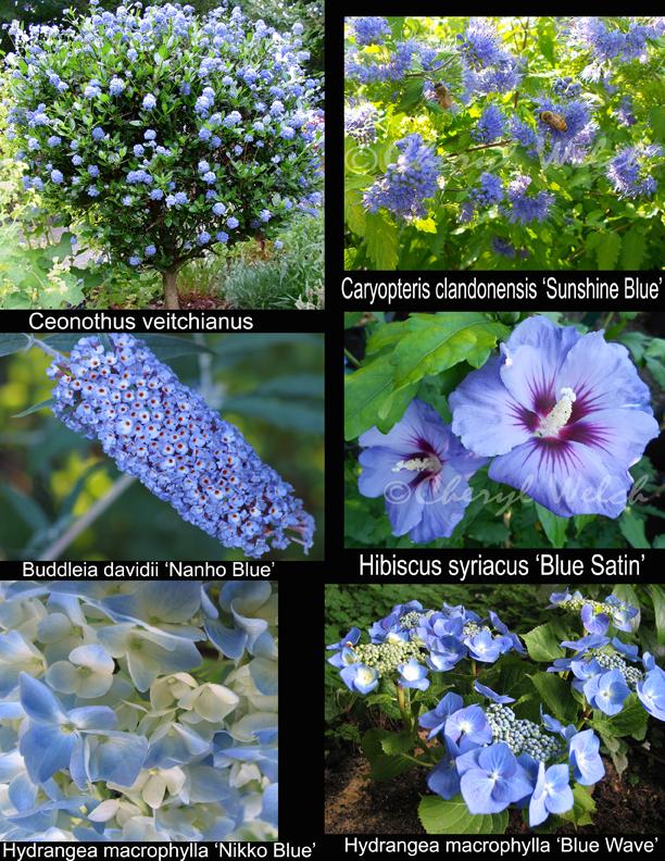 My petal press garden blog blue flowering shrubs for Blue flowering bush