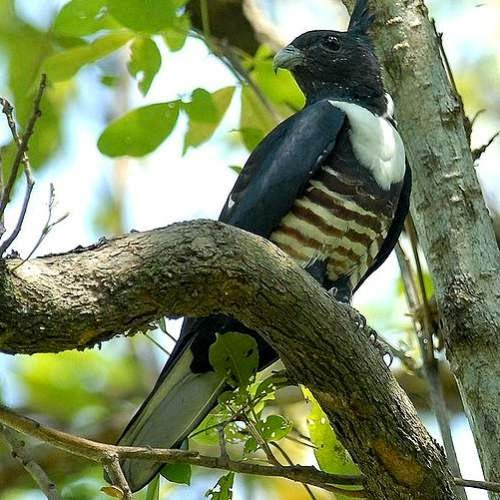 Indian birds - Image of Black baza - Aviceda leuphotes
