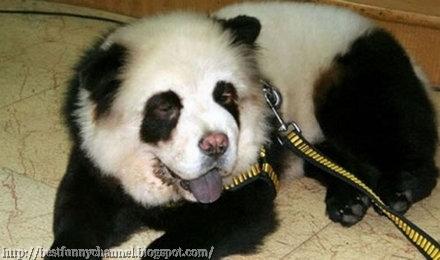 Dog panda.
