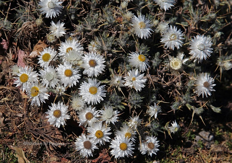 Helichrysum sp. in Ethiopia