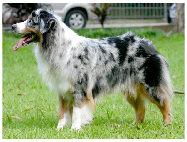Australian Shepherd Temperament