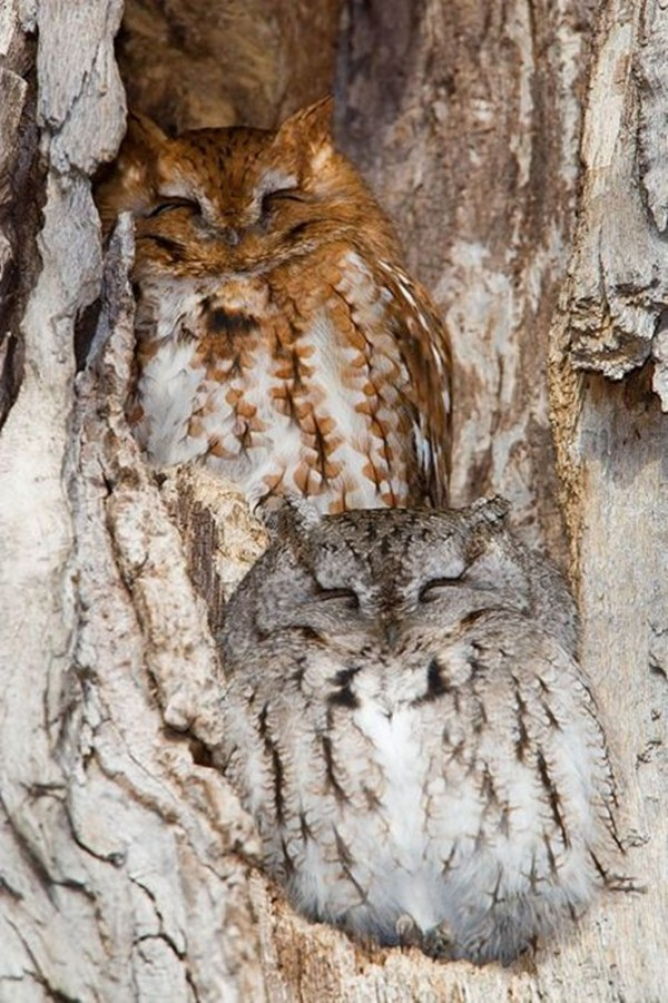 Owl camouflage, camouflaged owls