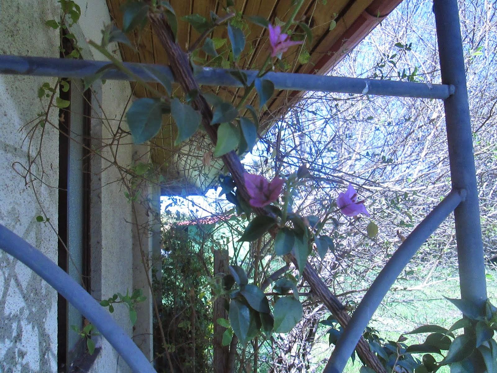 buganvillia porch