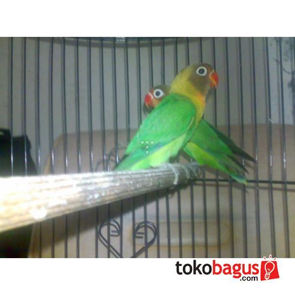 JUAL Lovebird Ijo Standart Stok 50 Ekor Minim Ambil 5