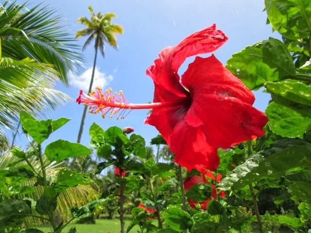 Hibiscus du jardin botanique de Tahiti