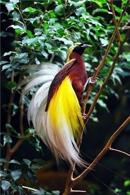 Informasi Belajar Anak Interaktif Burung Cendrawasih Alam Papua Gambar Mewarnai